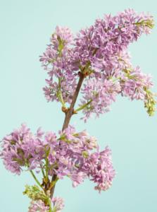 fleur kreativ magazine blumenkunst blumendesign blumen winter flieder lisianthus tulpe mimose cymbidium anemone amaryllis inspiration farben ideen blumen magazine zeitschrift lesen diy